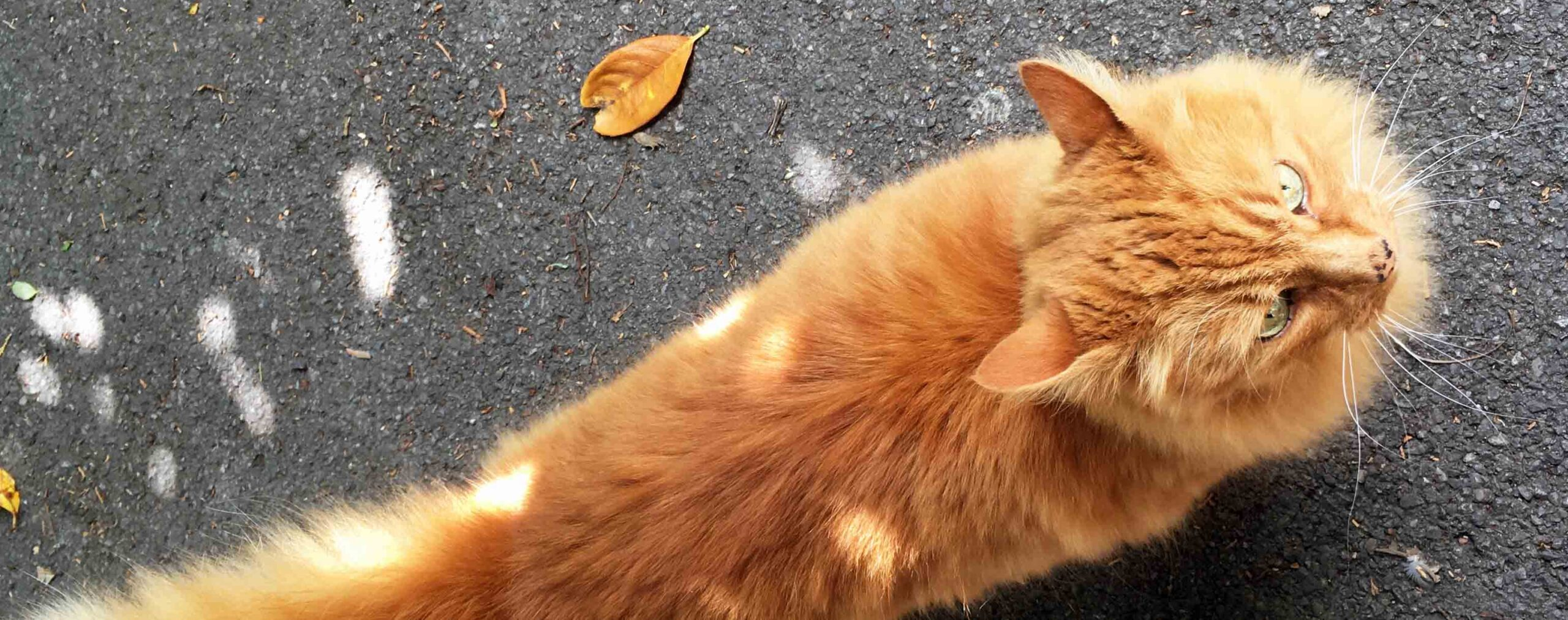 The ginger cat of Morrris Lane